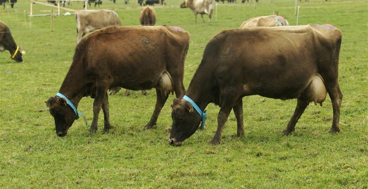 Jerseys come out tops in grazing trial