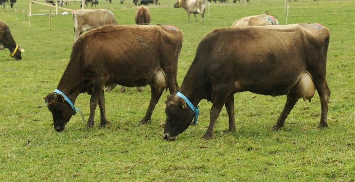 New Zealand dairy farmers facing life without inductions in 2015