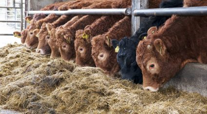 Strong Irish cattle prices