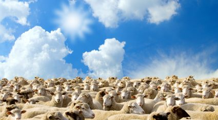670 sheep seized in cross-border crackdown