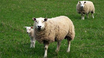 Genetics the way forward for sheep farmers