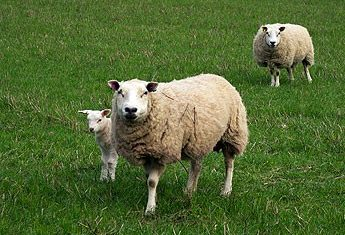 Record season for Sheep Ireland