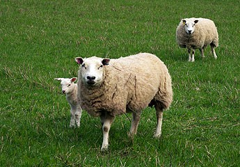 Good lambing nutrition, key advice from Scotland
