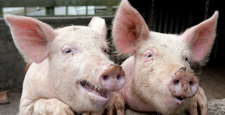 Pig producers 'digging holes' as prices remain below cost of production