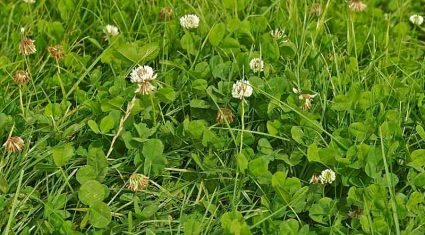 'Clover has made little contribution to the value of pasture'