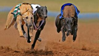 Greyhound welfare initiatives 'progressed' in last 2 years