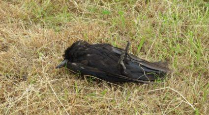 """Investigation underway on """"indiscriminate"""" bird poisoning"""