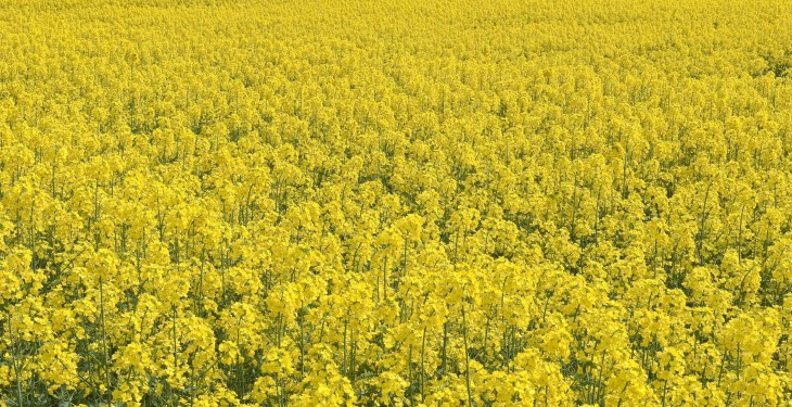 Tackling stem rot (Sclerotinia) in OSR