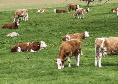 Allegations of 'irregularities' at cattle breed society