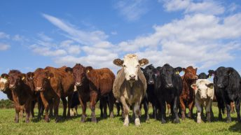 'Global beef production needs to rise by 43% to feed growing population'