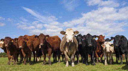 Beef price drop €3.5m loss ICMSA