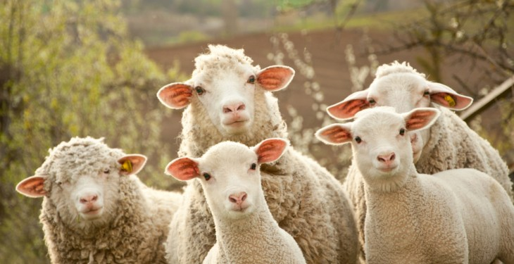New Zealand sheep meat production slowing