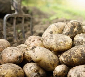 Potato prices: Drop as harvest nears completion