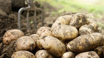 Potato prices: Yields down slightly, but quality excellent