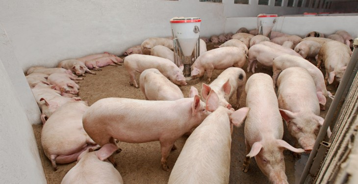 Fire kills thousands of pigs in Armagh, arson suspected