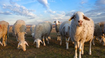 More pressure on sheep trade reported