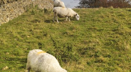 Sheep fencing funding boost