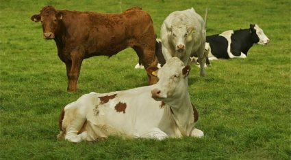 'Beef farmers will not accept coupled support for dairy industry'