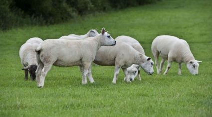 Nutrition key for ewes in late pregnancy to improve lamb output