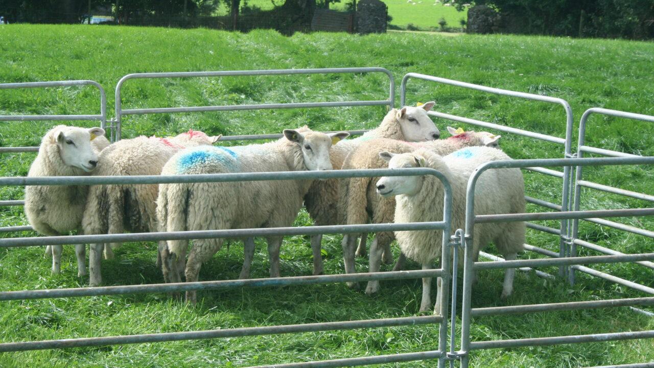 Better farm sheep programme a success in Kilkenny
