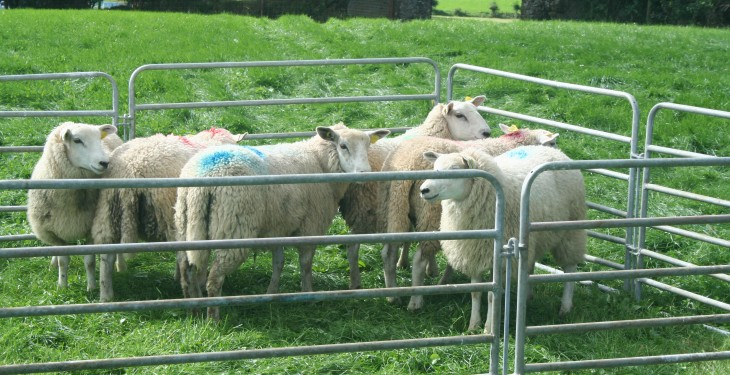 Better farm sheep programme a success in Kilkenny
