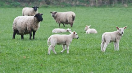 Teagasc gives advice on lamb performance