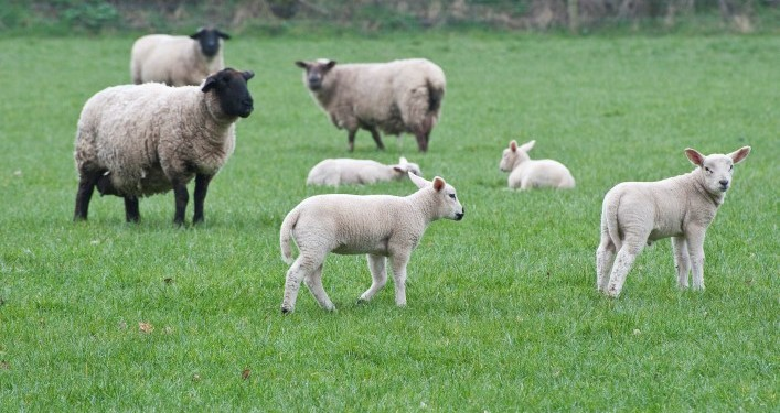 LMC set to launch lamb advertising campaign