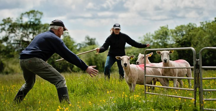 Results from this year's Irish National Sheepdog Trials