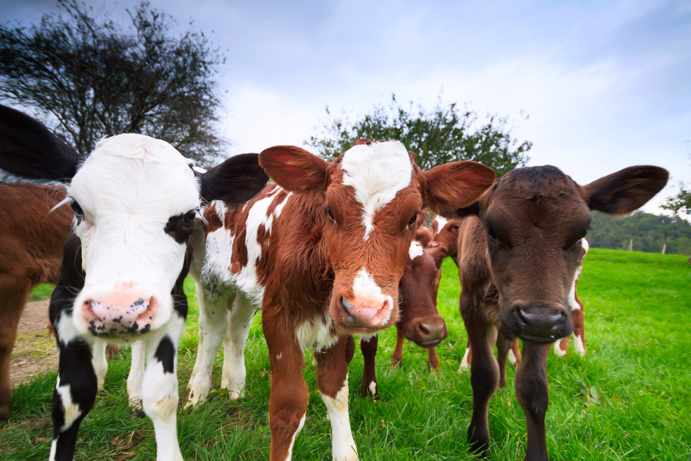 Seasonal calf rearing – meeting the required growth targets