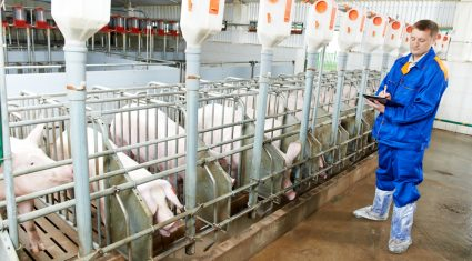 Northern pig producers introduce DNA testing