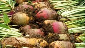 If cattle had pocket money, they would buy fodder beet