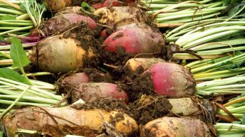 Macra backs calls to re-establish a sugar beet industry in Ireland