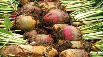 'Government must support the return of the sugar beet industry'