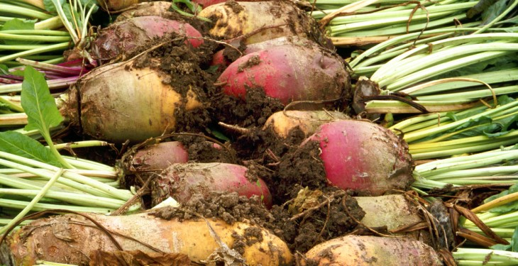 Record fodder beet yields a prospect this year