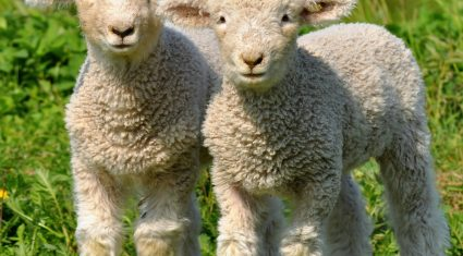 Strong demand for lamb reported