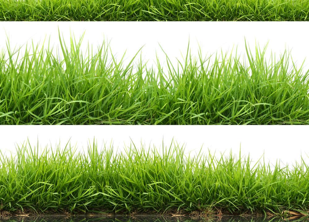 Perennial grasses for marginal soils