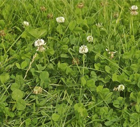 The use of white clover offers many benefits to farmers