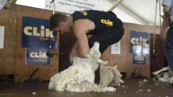 Irish sheep shearer finishes third in World Speed Shear event