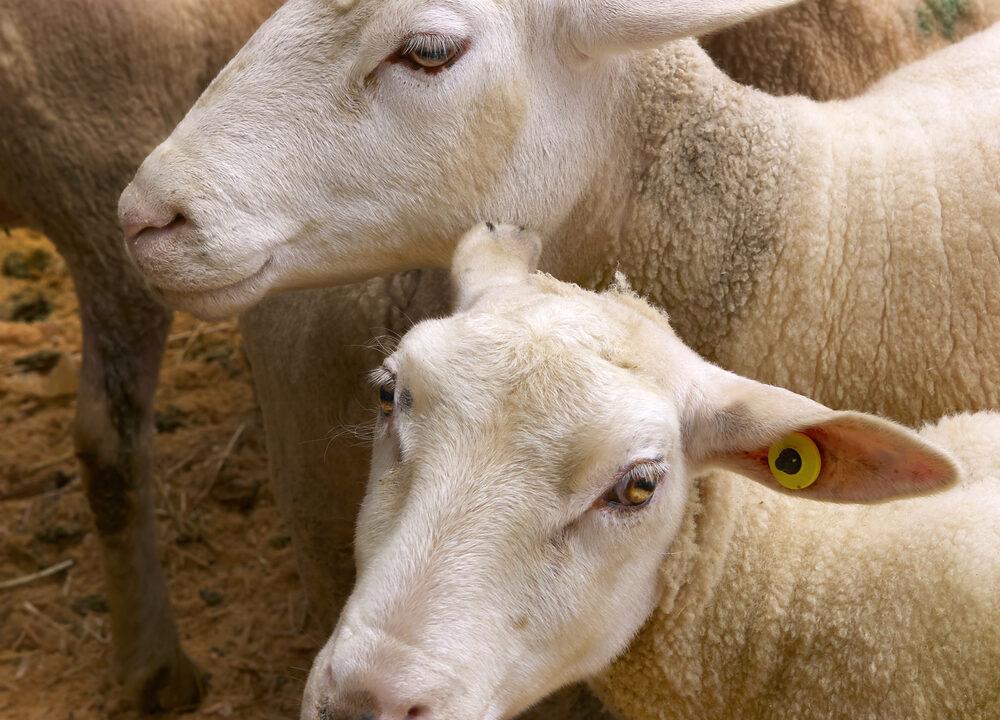 10,000 less sheep killed last week