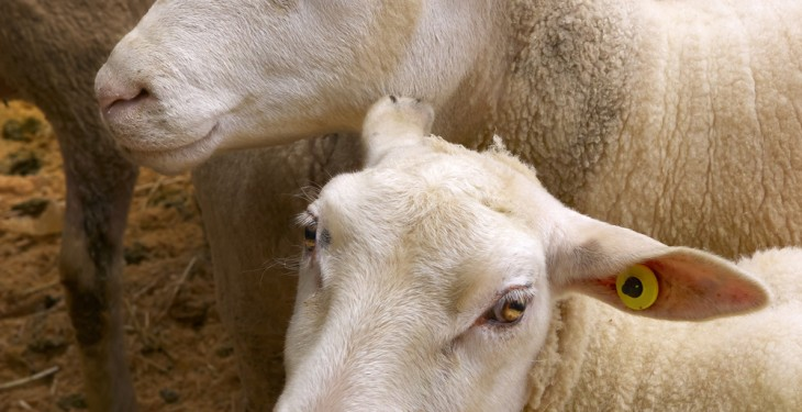 Sheepmeat exports in New Zealand and Australia see decline in first quarter