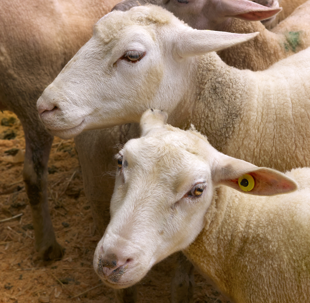US sheep meat imports higher in 2014 - Agriland ie