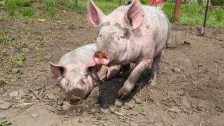 EU updates control measures on African swine fever
