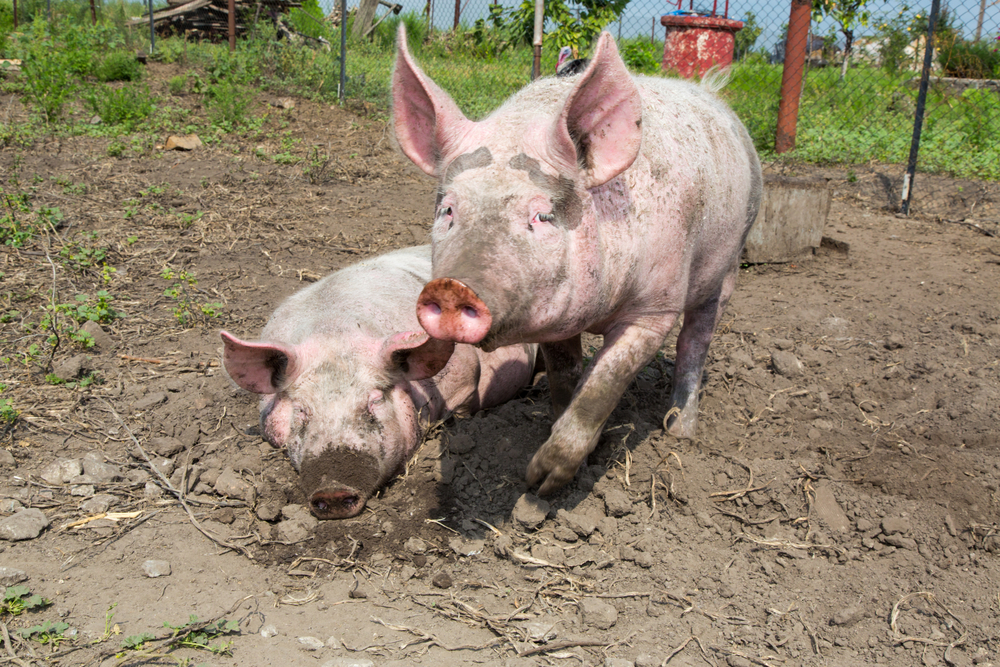 First cases of African swine fever discovered in Vietnam