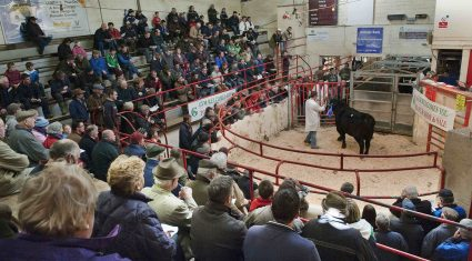 Buy cattle from the comfort of your armchair, as Ballina Mart goes digital