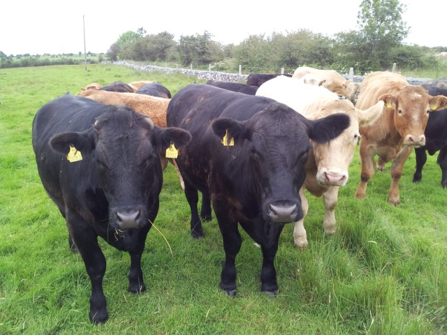 ICOS calls for increased co-operation with Northern Ireland on beef