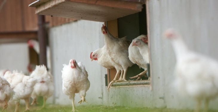 European bird flu outbreaks 'shouldn't worry' Irish poultry producers