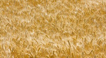 Good grain harvest up 4.5%, Copa-Cogeca
