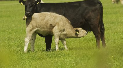 Good grass year in 2014 leads to increase in suckler cow caesareans