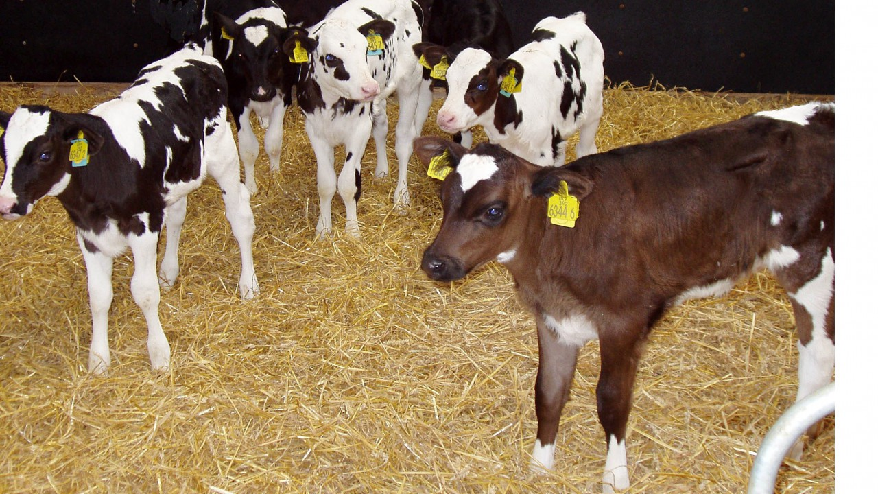 Giving calves the best possible start