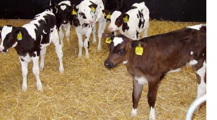 Colostrum key to calf health